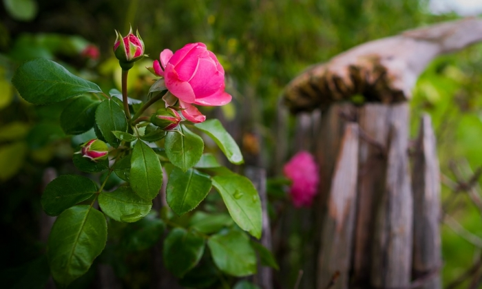 Blount and Maslin Malmesbury Estate Agents recommend pruning your rosebushes ready for Summer